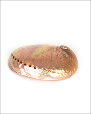 Picture of WHITE ABALONE SHELL